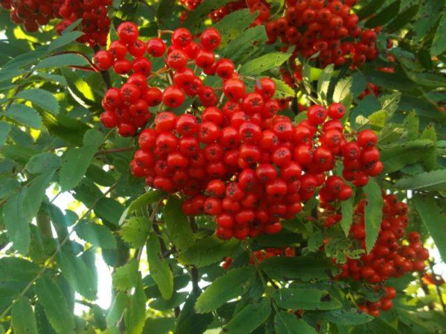 Именно это растение позволяет быстро и эффективно убрать симптомы заболевания, восстановить воспалённую слизистую отделов кишечника и повысить активность органа