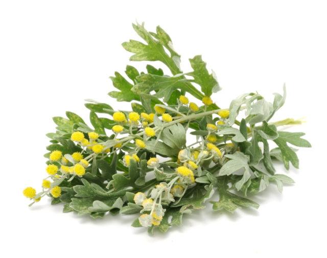 Полынь широко используется в лечении геморроя, благодаря своим противовоспалительным, кровоостанавливающим, подсушивающим и антисептическим свойствам
