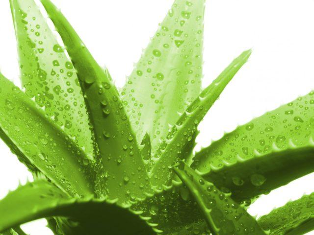 Сок этого растения применяется для снижения уровня кислотности в пищеварительном тракте