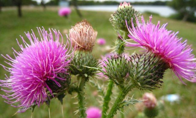 Лечебное влияние на организм растение оказывает благодаря присутствию в его семенах большого количества компонентов